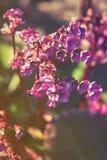 关闭在岩白菜属cordifolia低对比桃红色花  图库摄影