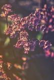 Κλείστε επάνω στα ρόδινα λουλούδια του cordifolia Bergenia Στοκ φωτογραφίες με δικαίωμα ελεύθερης χρήσης