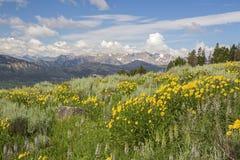 Cordifolia montana da arnica de Heartleaf Fotografia de Stock Royalty Free