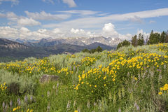 Cordifolia Montana de la árnica de Heartleaf Fotografía de archivo libre de regalías
