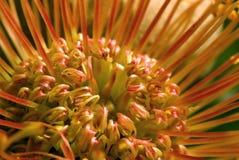 Cordifolium de Leucospermum Foto de archivo libre de regalías