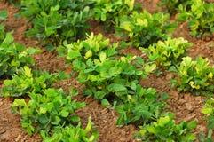 Cordon 3 d'arachides Images stock