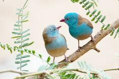 Cordon Bleu Finches Royalty Free Stock Photos