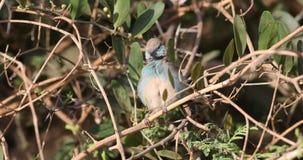 Cordon bleu rojo-cheeked en arbustos
