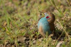 Cordon bleu rouge-cheeked photo stock