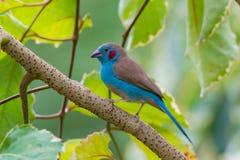 Cordon bleu rouge-Cheeked Image libre de droits