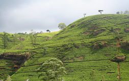 Cordon de thé Image stock