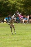 Cordons de Dalmation après avoir branché pour attraper le frisbee Photos libres de droits