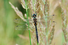 Cordulia aenea dragonfly with green eyes Stock Image
