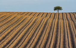 Corduory field. Heavily plowed field with furrows lining up to a lone tree Stock Photography