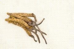 Cordyceps汉语,蘑菇寄生生物 传统藏语和中药 图库摄影
