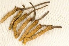 Cordyceps汉语,蘑菇寄生生物 传统藏语和中药 免版税图库摄影