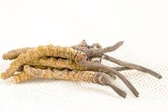 Cordyceps汉语,蘑菇寄生生物 传统藏语和中药 库存照片