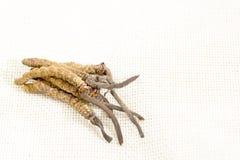 Cordyceps汉语,蘑菇寄生生物 传统藏语和中药 免版税库存图片