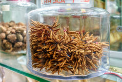 Cordyceps is considered to be medicinal mushroom in classical Asian pharmacologies, such as that of traditional Chinese and Tibeta. N medicines. Dried cordyceps Stock Photography