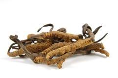 Cordyceps (een soort ascomycetenpaddestoelen) Stock Foto's
