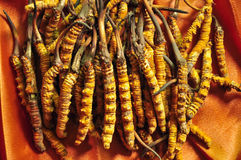Cordyceps (a genus of ascomycete fungi) Royalty Free Stock Images