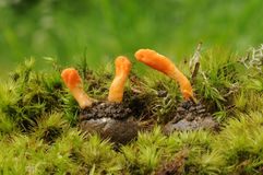 Cordyceps militaris fungus Stock Photography