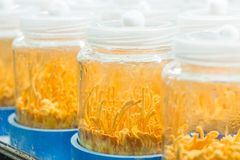Cordyceps militaris. In glass bottles at herbal farm Stock Images