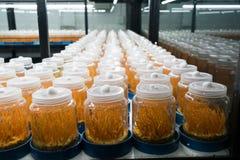 Cordyceps pieczarka w laboranckiego pokoju kontrolowanym tempurature zdjęcia stock