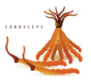 Cordyceps set  white. (Dong chong xia cao) Stock Images