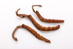 Cordyceps sinesis Yartsa Gunbu Yarsagumba himalajski złocisty Nepal odizolowywał Zdjęcie Royalty Free