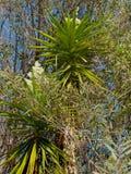 Cordyline树 库存图片