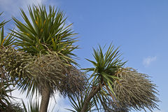 Cordyline australis, cabbage tree, in flower Royalty Free Stock Image
