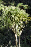 Cordyline australis Tree Stock Photography