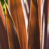 Cordyline con las hojas rojo marrón de punta agudas Imagen de archivo