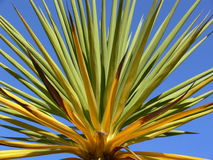 Cordyline Plant. Against blue summer sky Royalty Free Stock Images