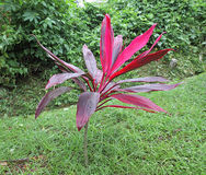 Cordyline Plant Royalty Free Stock Photo