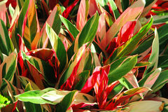 Cordyline plant Royalty Free Stock Photography
