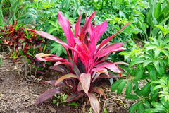 Cordyline Red Sister plant and croton varieties. Taken in Florida stock photography