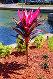 Cordyline Red Sister plant and croton varieties Stock Image