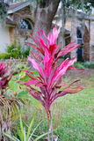 Cordyline Red Sister plant and croton varieties. Taken in Florida stock photo