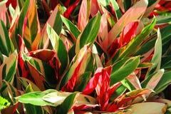 cordyline roślina fotografia royalty free