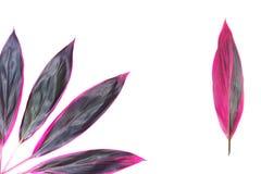 Cordylinefruticosa - röda kronblad - tropiska exotiska blommor arkivfoton