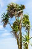 Cordylinepalm stock afbeeldingen
