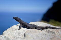 Cordylus Niger, zwarte omringde hagedis, zwarte zonure Royalty-vrije Stock Fotografie