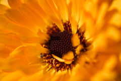 The core. Close-up on the core of a daisy Royalty Free Stock Photos