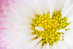 The core of a daisy. Between the plants in my garden Stock Photo