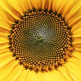 Core of of the flower, texture. Sunflower close-up. Seeds and oil. Flat lay, top view. Macro.  Stock Photos