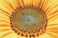 Core of of the flower, texture. Sunflower close-up. Seeds and oil. Flat lay, top view. Macro.  Royalty Free Stock Photo