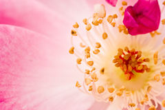 Core flowers. Plant - the spring flower Core Stock Images