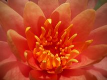 Core of the lotus royalty free stock image