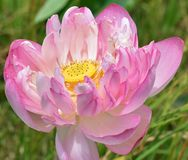 The core of a lotus. In full bloom. In Hinduism Brahma, the ultimate creator, emerges from a Lotus as well. This sense of purity arises from the flower`s Royalty Free Stock Photo