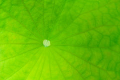 Core lotus leaf Royalty Free Stock Images