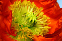 The core of poppy flower with stamens closeup.  Royalty Free Stock Photos