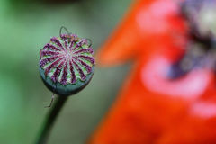 Core of red poppy Stock Photo